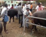 Veterinary camp at Rajannasiricilla treats 118 cattle animals-treatment